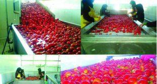 عمده فروشی رب گوجه